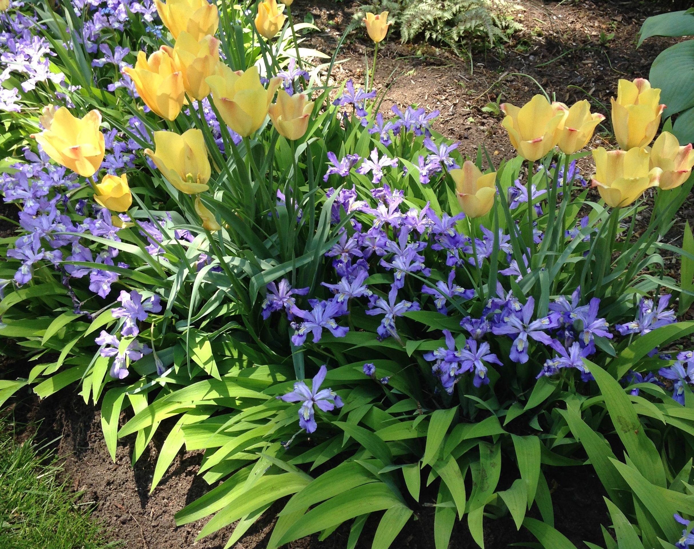 Iris-Tulips-e1520972137882