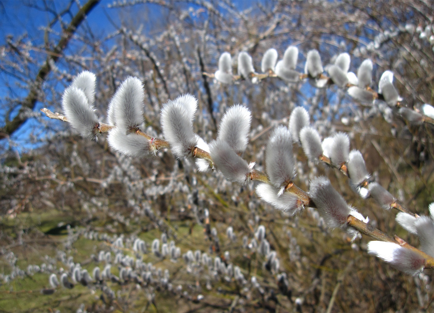 pussy-willow-late-winter
