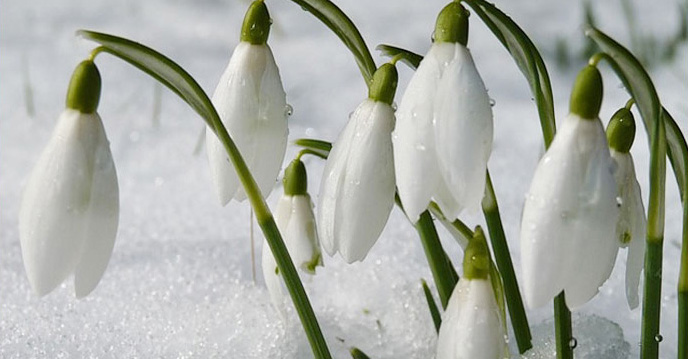 snowdrops-in-snow-cropped