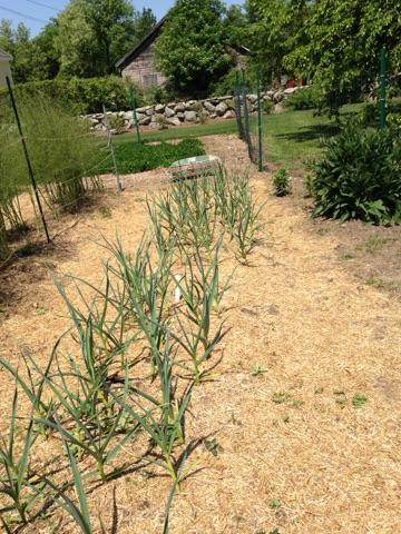 nutrient dense organic onions