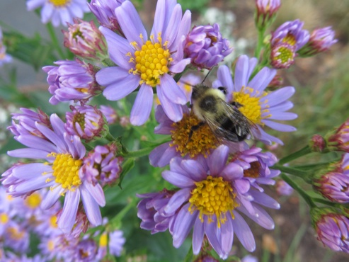 Asters-and-bee