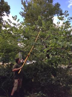 Carmine Imbriglio demonstrating proper pruning at Groton Garden Club's Tree Pruning Workshop