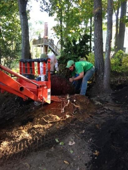 full size hinoki cypress planting