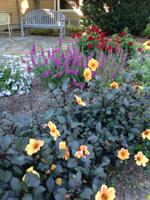 Dahlias & Gladiolus tubers