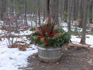 Harvard healing garden pine branches & winterberry