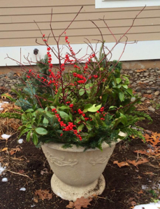 Weston evergreens and winterberry