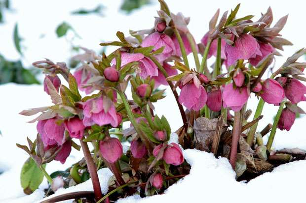 Helleborus-through-snow