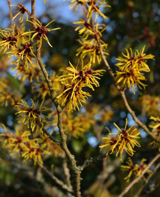 witch-hazel-flowering-shrubs-1-e1488313439715-517x636