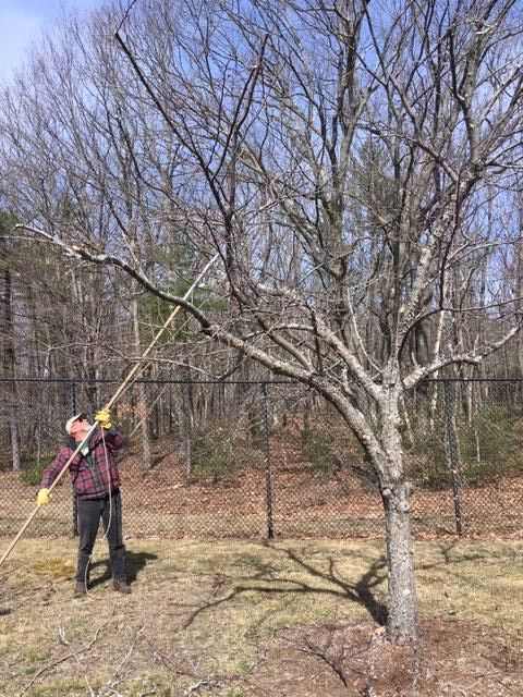 Skilled arborist pruning a crabapple tree