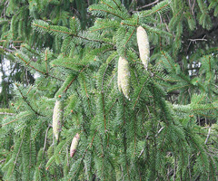 Norway spruce closeup