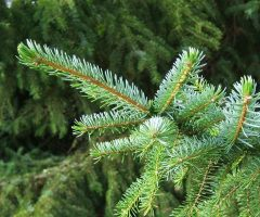 Serbian spruce closeup