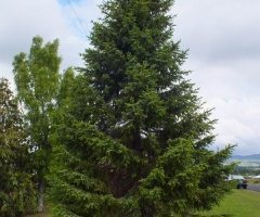 Serbian spruce full view