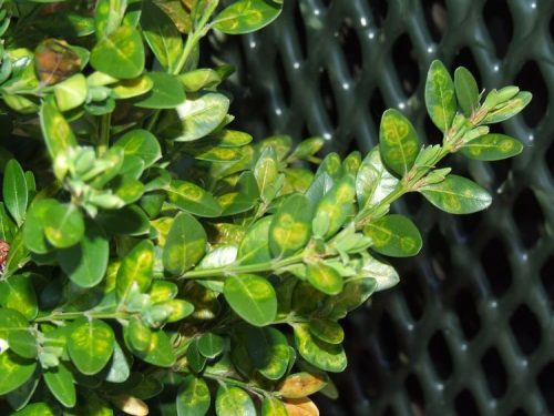 Image of damage done by the Boxwood leafminer
