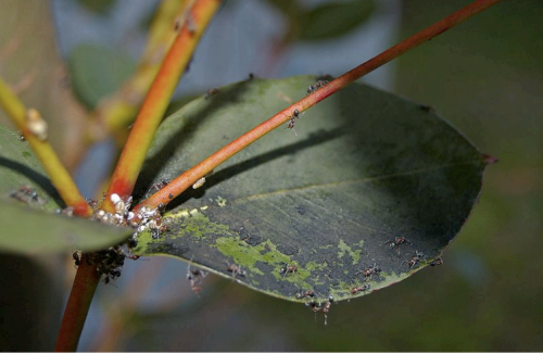 Image of sooty mold on leaf