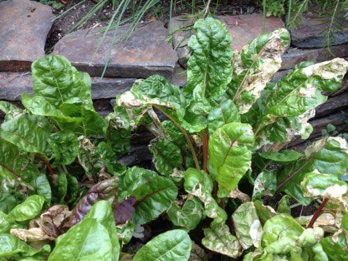 beet leaf miner damage on swiss chard